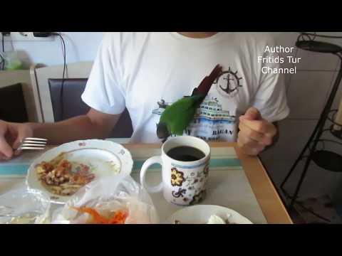 Pyrrhura Pet Parrot Roma Parrot – Breakfast